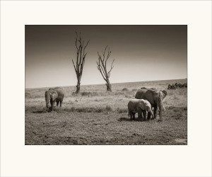 Elephants and dead trees.Ytterformat 50x60 cm. Fine Art Print monterad på kartong utan ram. 1400:-
